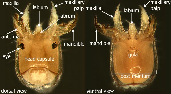 Diagram     Coleoptera  beetles
