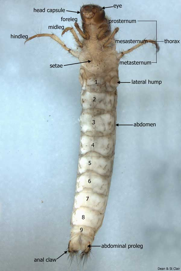 whole case making larva - ventral view Window